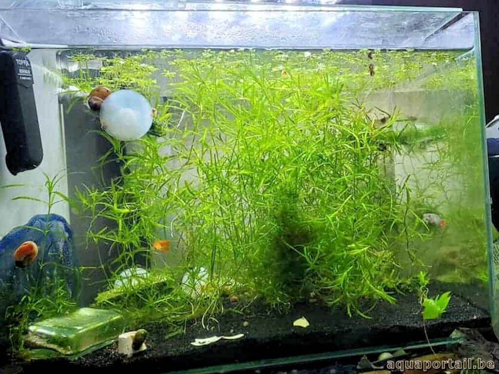 Najas guadalupensis est une plante pour guppys et autres poissons vivipares